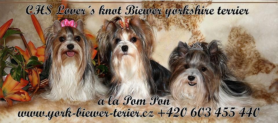York biewer terier abaac3747a
